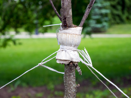 fastened: Garter a young tree with twine to protect against uprooting Stock Photo