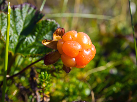 Ripe cloudberry grows in the tundra in natural conditions
