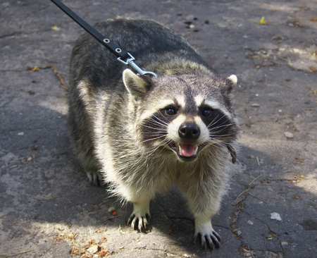 Raccoon walking on the streets of the city on a leash Stock Photo