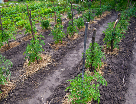 Rows of young tomato bushes with hay mulch