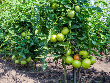 Clusters of ripening tomatoes on large tomato bushes