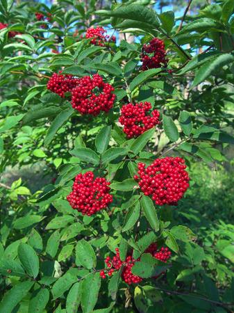 Bush of ripe red elderberry in the garden