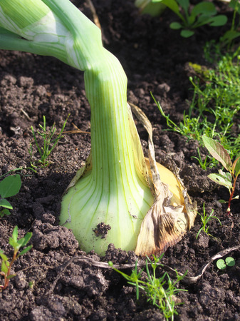 Large leek bulbs sticking out of earth