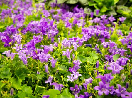Campanula Get Mi of the bellflower family blooming with small flowers
