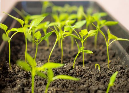 Young shoots of seedlings in a container with the ground
