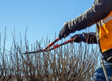 Pruning bushes in spring with large clippers Imagens