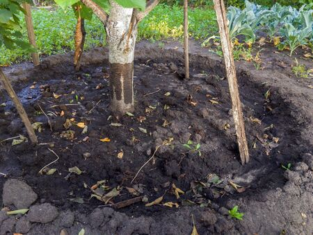 Deepening the soil around the fruit tree in the garden