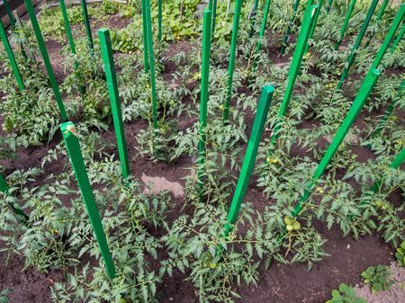 Use as a support for growing tomato wooden pegs