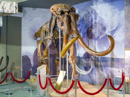 The skeleton of an ancient steppe mammoth. Exhibit of the paleontological museum. 報道画像