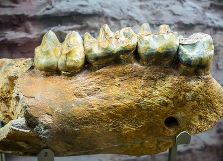 Fragment of the lower jaw dinoteria. Exhibit of the Paleontological Museum.