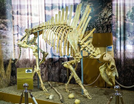 Azov, Russia - July 27, 2019: Primeval steppe bison. Exhibit of the Azov Paleontological Museum.
