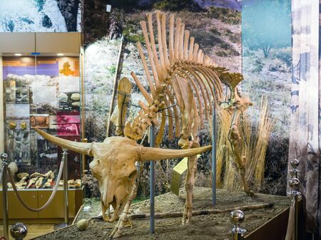 Azov, Russia - July 27, 2019: The skeleton of a primitive steppe bison. Exhibit of the Azov Paleontological Museum.