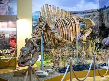 Azov, Russia - July 27, 2019: The skeleton of an ancient rhino (Caucasian elasmotherium). Exhibit of the Azov Paleontological Museum.