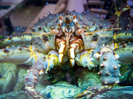 Large Far Eastern crab behind the glass of the aquarium