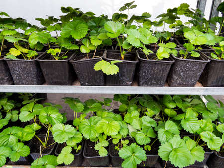 Strawberry seedlings in plastic containers are on the shelves