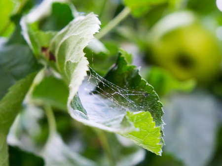 Apple tree leaves affected by spider mites