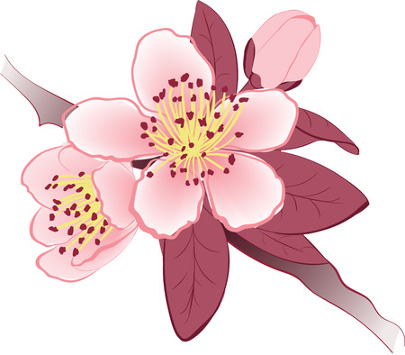 brawn: Flowers of the sakura blooming on the brawn branch Illustration