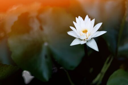 White lotus bloom in the morning Banque d'images - 132119555