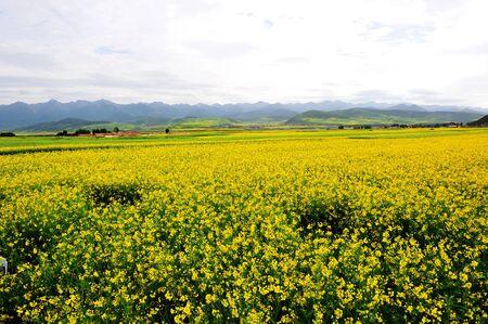 canola plant: canola flower field Stock Photo