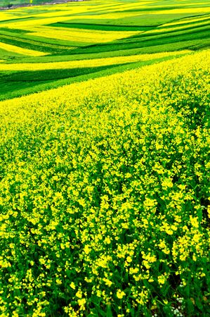 canola: canola flower field Stock Photo