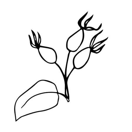 Rosehip berries - immune system activator, natural medicine, source of vitamin C - herbal tea ingredient - vector illustration. Design for print recipe, menu, fabric, decoration packaging herbs or tea.