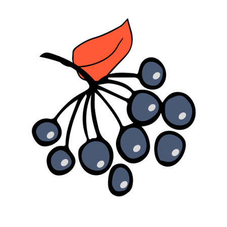Vector illustration depicting a blueberry branch, hand drawn in doodle style. Design for decorating a recipe, menu, book page, coloring book, invitation. Illustration