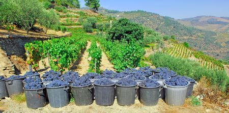 douro: Portugal, Douro valley, Pinhao: just harvested Grape