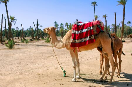 mediteranean: Morocco, Marrakech, Marrakesh:blue sky, palm trees, yellow sand and camels; a sahara typical image