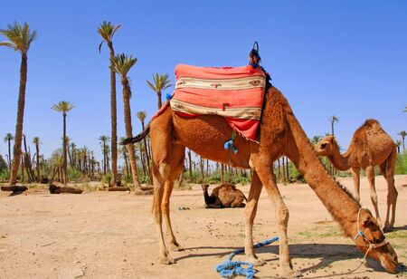 mediteranean: Morocco, Marrakech, Marrakesh: blue sky; red sand, palm trees and camels ; a typical image; a typical landscape from this region  Stock Photo