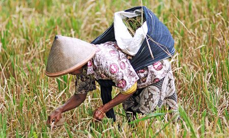 conical: Indonesia, Java: Rice agriculture; yellow and green rice field; a worker with his traditional asian conical hat