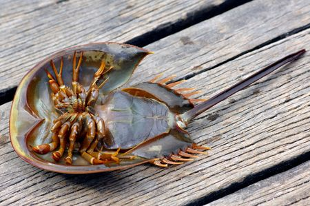 speciality: Malaysia, langkawi: Strange crustacean; this crustacean is a gastronomic speciality of the malay island; generally cooked deep-fried or grilled Stock Photo