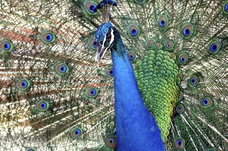 Malaysia, Pangkor island: Blue indian Peacock displaying the tail as part of courtship  photo