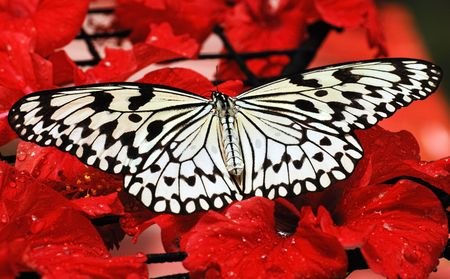 Malaysia, Penang: Butterfly; sunny day and  a black and white butterfly on red flowers