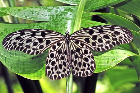 Malaysia, Penang: Butterfly; sunny day and  black and white butterfly on green leaves Stock Photo - 2824967