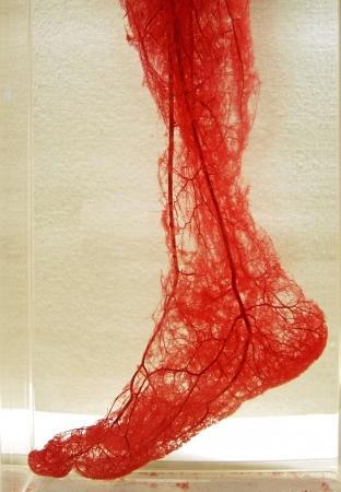 vasos sanguineos: Los vasos sangu�neos; representaci�n anat�mica de una media pierna y el pie en forma transparente con todos los buques