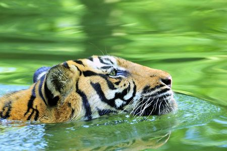 Tiger of Sumatra swimming in the jungle Stock Photo - 2832527