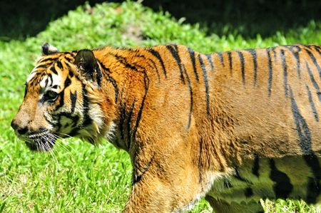 Tiger of Sumatra hunting in the jungle Stock Photo - 2832533