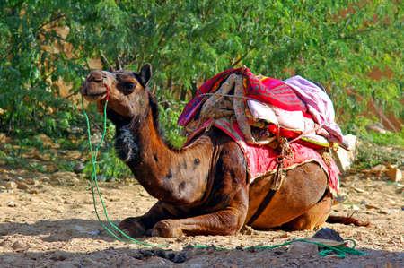 brawn: India, Rajasthan, Jaisalmer: Camel of the Thar desert; image in brawn colors