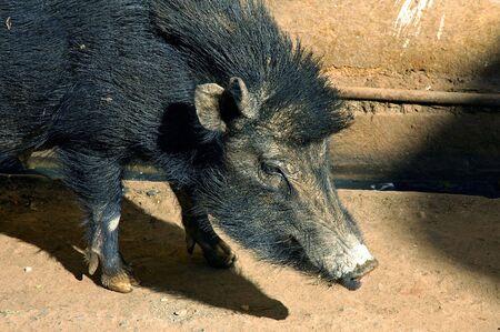 durty: India, Bundi: a black wild boar living in the city Stock Photo
