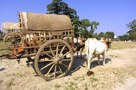 bullock animal: Myanmar, Mingun: blue sky and green vegetation with a  bullock cart