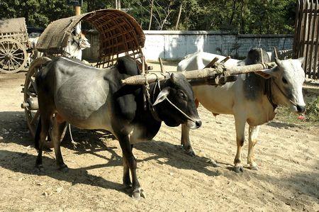 Myanmar, Bagan: Bullock cart in the countryside Stock Photo - 2900755
