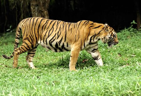 Indonesia ; image of a beautiful and enormous carnivore the famous sumatra tiger Stock Photo - 2912919