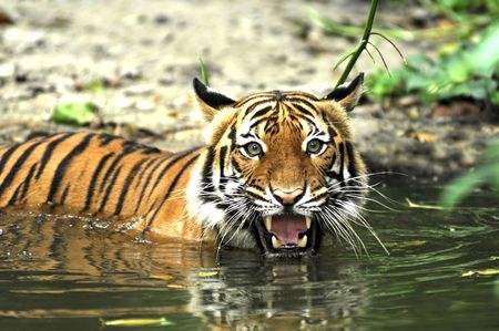 Indonesia ; image of a beautiful and enormous carnivore the famous sumatra tiger  Stok Fotoğraf