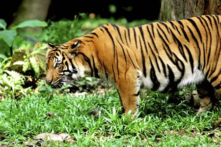 carnivore:  Indonesia ; image of a beautiful and enormous carnivore the famous sumatra tiger  Stock Photo