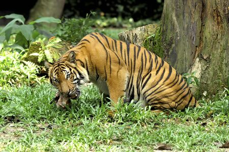 sumatra:  Indonesia ; image of a beautiful and enormous carnivore the famous sumatra tiger  Stock Photo