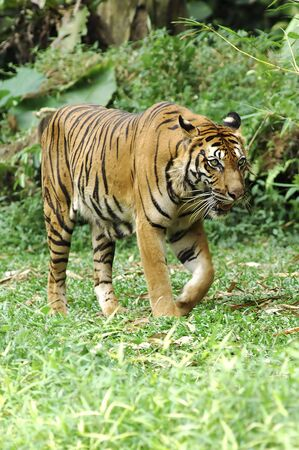bewilder: Indonesia ; image of a beautiful and enormous carnivore the famous sumatra tiger  Stock Photo