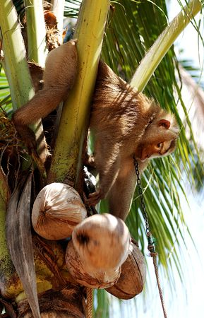isthmus: Thailand, Koh Samui is an island situated in the east coast of the Kra Isthmus with a developed tourist industry. View of monkey harvesting coconut Stock Photo
