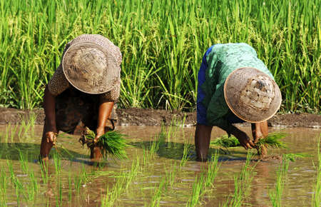 Indonesia, Java: Women with traditional hat working  in the ricefield photo
