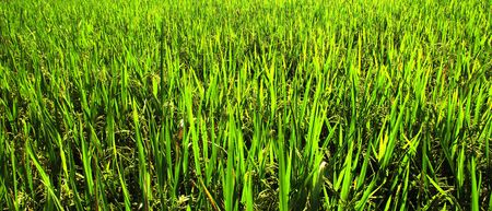 Indonesia, Java: View of a green ricefield photo