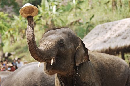 Thailand region of Chian Mai, view of an elephant show; Here with a hat Stock Photo